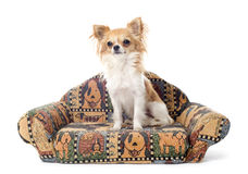 Chihuahua on sofa Stock Photography