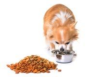 Chihuahua som äter i studio royaltyfri foto