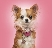 Chihuahua som bär en skinande krage, sammanträde, 7 gamla månader Fotografering för Bildbyråer
