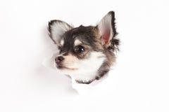 Chihuahua som isoleras på den vita hunden för idérikt arbete för bakgrundsgenombrottvykort Arkivfoto