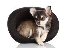 Chihuahua som isoleras på det vita bakgrundsdjuret Arkivfoto