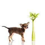 Chihuahua som isoleras på idérikt arbete för vitt bakgrundshundhusdjur Arkivbild