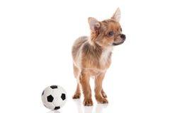 Chihuahua som isoleras på vit bakgrund Royaltyfria Foton