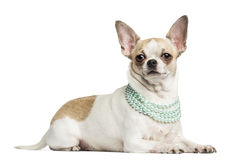 Chihuahua som ligger och bär en pärlemorfärg halsband arkivfoton