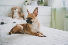 Chihuahua som ligger p? s?ngen royaltyfria foton
