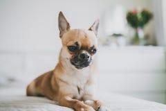 Chihuahua som ligger p? s?ngen arkivfoton
