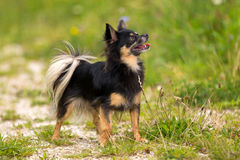 chihuahua som ser upp Fotografering för Bildbyråer