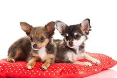 Chihuahua som tillsammans isoleras på vit bakgrund Royaltyfria Foton