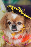 Chihuahua with a Sombrero. A petite chihuahua with a sombrero and costume stock photography