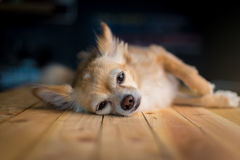 Chihuahua sonolento bonito imagem de stock