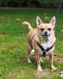 Chihuahua sonriente en el parque Foto de archivo libre de regalías