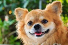 Chihuahua sorridente del cane Fotografie Stock Libere da Diritti