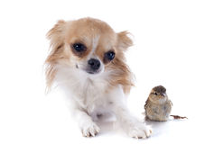 Chihuahua and sparrow Stock Photos