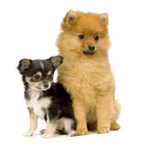 Chihuahua and spitz Stock Images