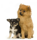 Chihuahua and spitz Royalty Free Stock Image