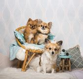 Chihuahua and spitz dogs sitting on chair in studio, portrait. Isolated on white Royalty Free Stock Image