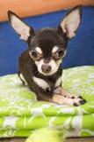 Chihuahua spojrzenie na piłce Obraz Stock