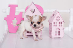 Chihuahua spotty puppy near pink paper houses Royalty Free Stock Photography