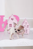 Chihuahua spotty puppy near small houses Royalty Free Stock Photography