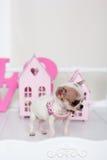 Chihuahua spotty puppy near small houses Stock Photos