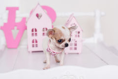 Chihuahua spotty puppy near small houses Royalty Free Stock Images