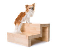 Chihuahua and stairs. In front of white background Royalty Free Stock Photos