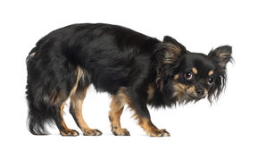 Chihuahua, standing Royalty Free Stock Image