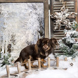 Chihuahua standing on a bridge in a winter scenery Stock Photos