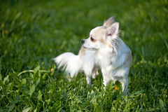 Chihuahua standing among dandelion greens Royalty Free Stock Photography