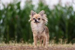Chihuahua standing on dry grass. Chihuahua dog standing on dry grass Stock Photography