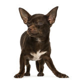 Chihuahua standing, eyes closed, 9 months old, isolated Royalty Free Stock Photo