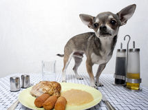 Chihuahua standing by food on table Stock Photos