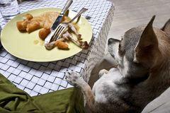 Chihuahua standing on hind legs to look at food Stock Photo
