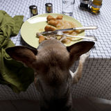 Chihuahua standing on hind legs to look at food Stock Images