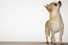 Chihuahua Standing And Looking Up Royalty Free Stock Photo