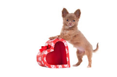 Chihuahua standing on a red heart shaped box Stock Photo