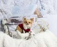Chihuahua standing in sleigh looking at camera in winter scene. Chihuahua standing in sleigh in winter scene Royalty Free Stock Photos