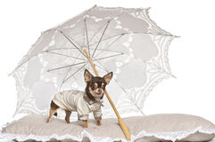 Chihuahua standing under parasol Stock Photos