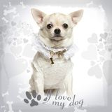 Chihuahua standing wearing a lace shirt and fancy dog collar. On designed background royalty free stock photos