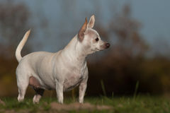 Chihuahua standing. White chihuahua standing on the grass Royalty Free Stock Photography