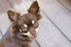 Chihuahua staring intently Royalty Free Stock Photo