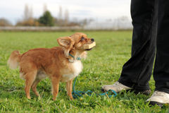 Chihuahua and stick Stock Images