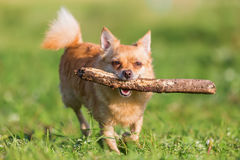 Chihuahua with a stick in the snout. Picture of a chihuahua dog with a stick in the snout stock photo