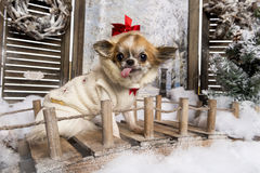 Chihuahua sticking the tongue out Stock Images