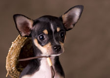 Chihuahua with Straw Hat. A young Chihuahua puppy with a straw hat Stock Photos