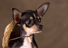 Chihuahua with Straw Hat. A young Chihuahua puppy with a straw hat Stock Images