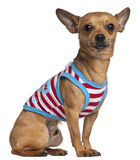 Chihuahua in striped shirt, 2 years old, sitting Royalty Free Stock Photography
