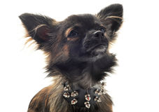 Chihuahua with studded collar Royalty Free Stock Image