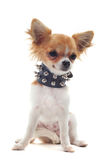 Chihuahua with studded collar Royalty Free Stock Images