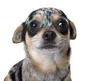 Chihuahua in studio Stock Images